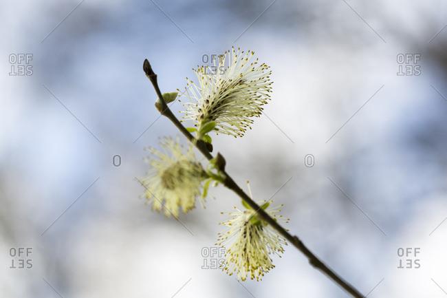 Palmktzchen, blhend, Zweig