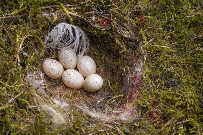 Vogelnest, Eier, Moos