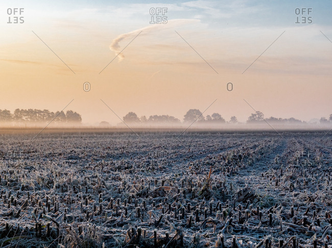 Frozen corn field after harvest, early in the morning