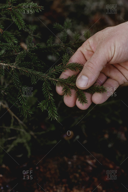 Hand holding pine twig