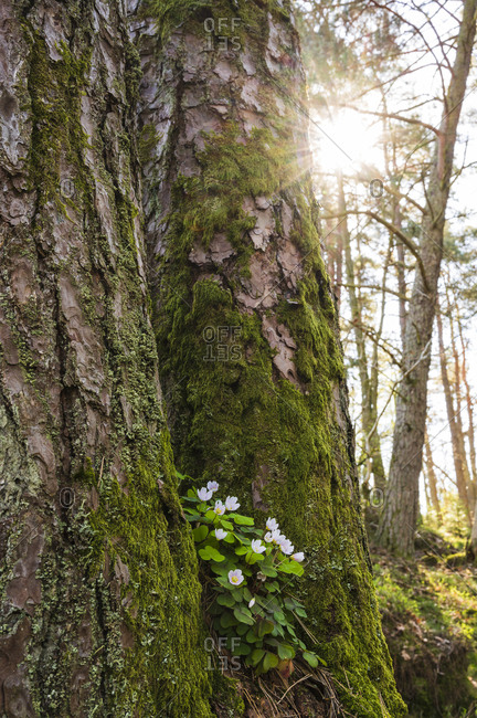 Wood anemones growing on tree trunk