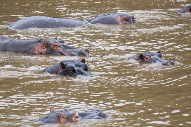 Hippopotamuses in water