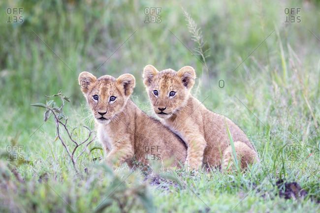 Lion cubs together