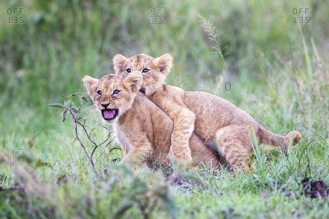 Lion cubs together