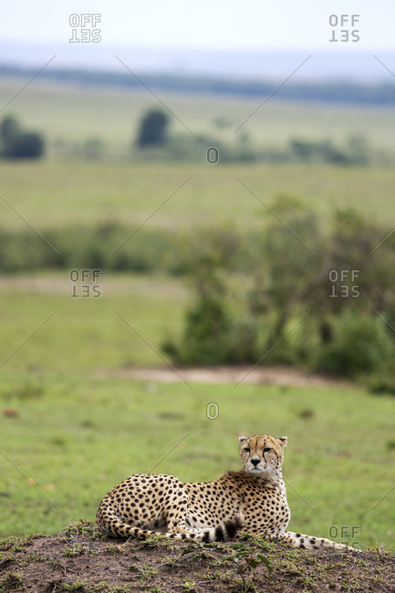 Cheetah hanging in the grass