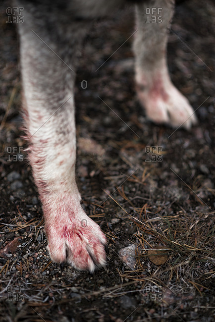 Blood on hunting dog paw