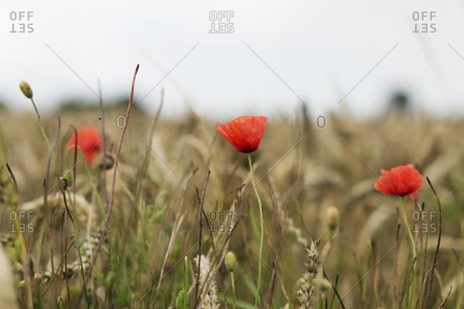Poppies in a wild field