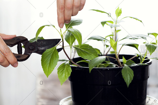 Cutting plant with secateurs