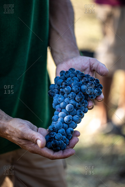 Hands holding ripe concord grapes