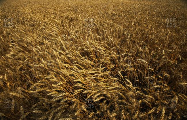 catcher in a wheat field