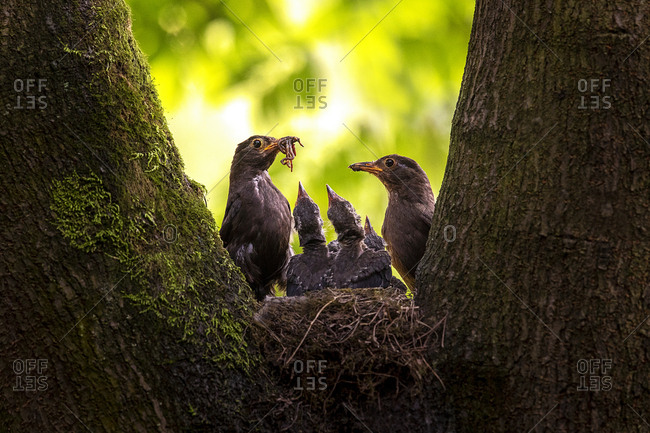 blackbird out doors in nature