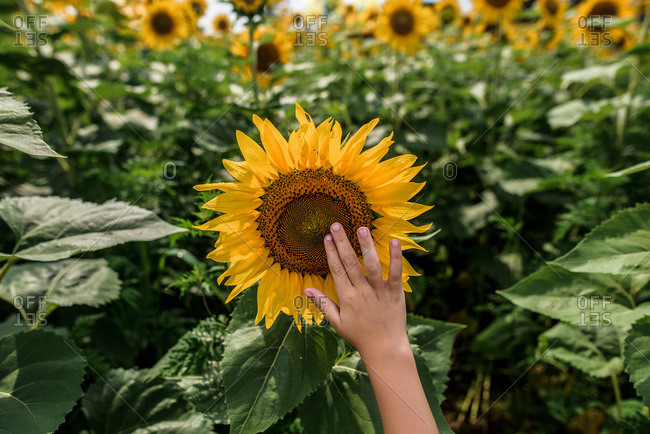 close up of a child\'s hand reaching up to touch a sunflower