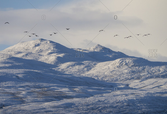Greylag Geese over winter mountain landscape in the Scottish Highlands