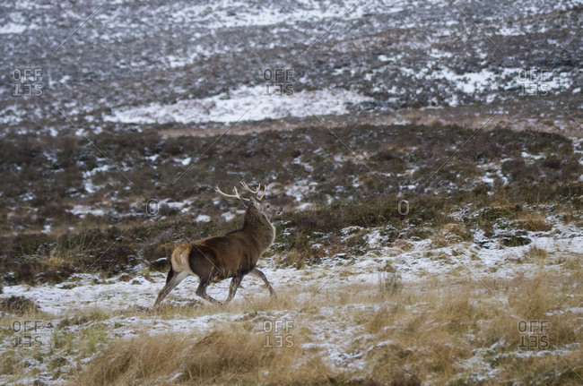 Red Deer stag in the Scottish Highlands of Sutherland Scotland UK