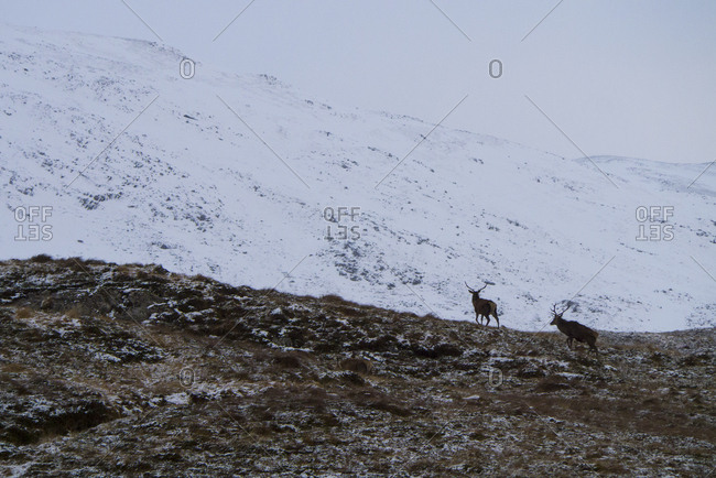 Red Deer stags amid snow in the Scottish Highlands of Sutherland UK