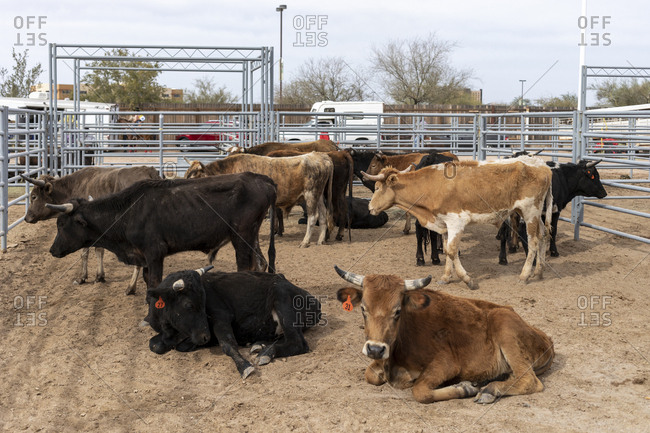 A pen holds bulls and cattle for Arizona black rodeo events