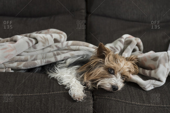 Yorkshire Terrier laying on the couch with a blanket on her.