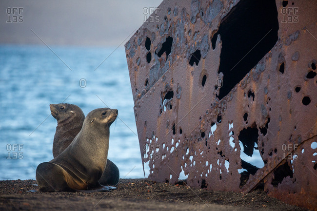 Fur seals and old ruins