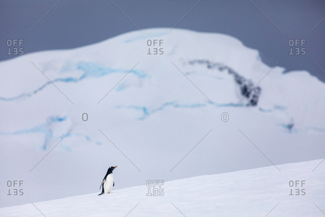 Gentoo Penguins in front of snowy mountains