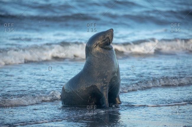 Fur seal on shore by the ocean