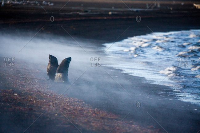 Fur Seals in steam