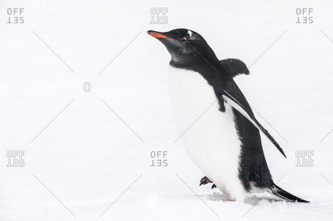 Gentoo penguins in snow
