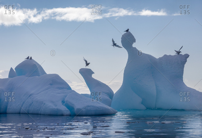 Antarctic Terns on iceberg