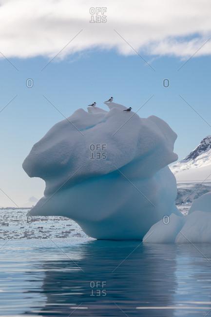 Antarctic Terns on iceberg - Offset