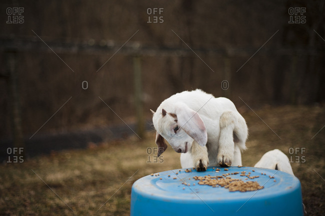 A baby goat eating food on top of a blue buckets