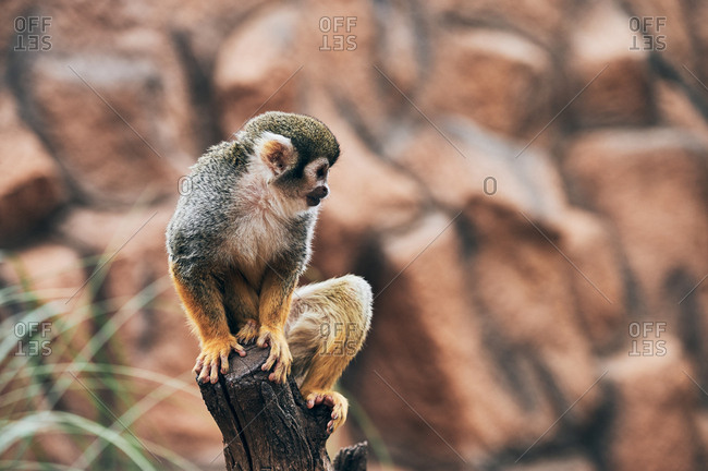 Cute monkey sitting on stump
