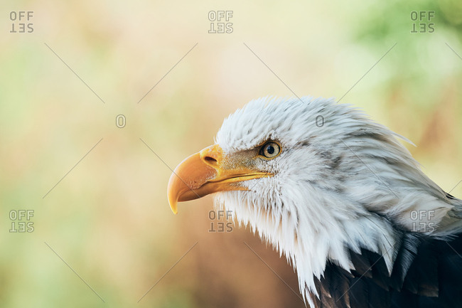 Head of serious concentrated bald eagle attentively looking around