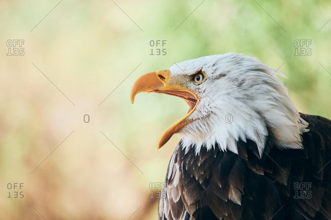 Gorgeous eagle crying with beak wide opened