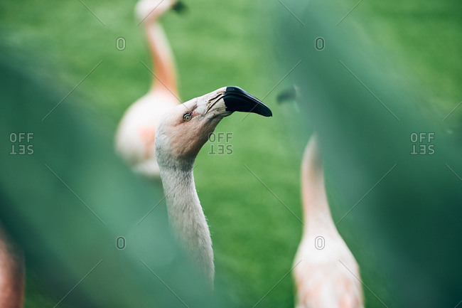Gorgeous flamingo with black curved beak in greenery