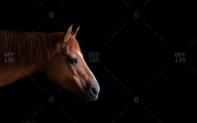 Red dun horse profile image