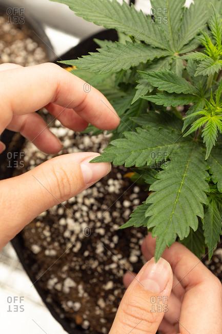 Hands touching leaf of homegrown marijuana plant.