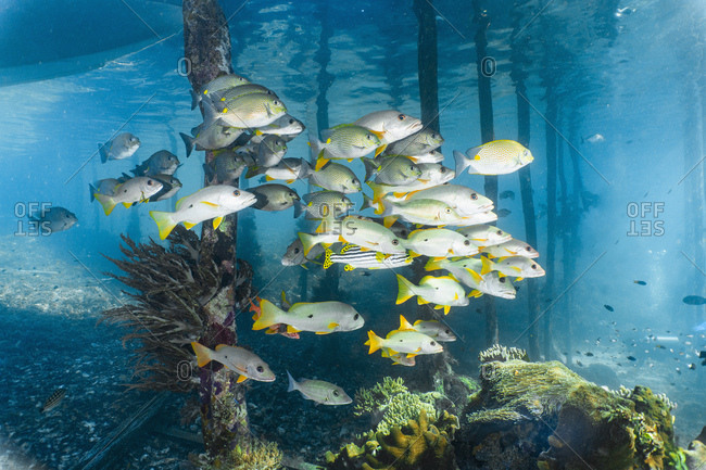 a group of sweet lips are shoaling underneath a jetty in Raja Ampat