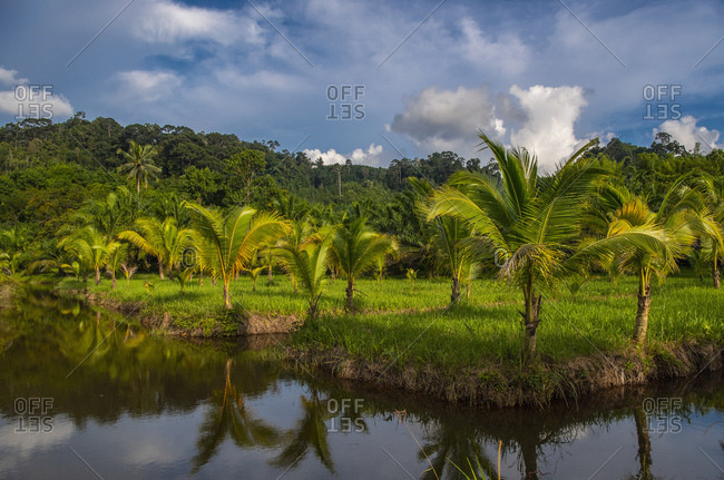 palm trees surrounded by water arrogation system in Khao Sok Thailand
