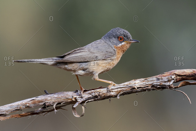 Subalpine warbler male. Sylvia cantillans, perched on the branch of a tree on a uniform background