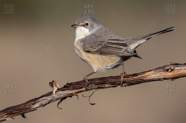 Subalpine warbler female. Sylvia cantillans, perched on the branch of a tree on a uniform background