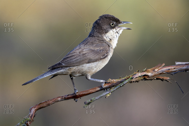 Western Orphean warbler (Sylvia hortensis), in its natural environment.