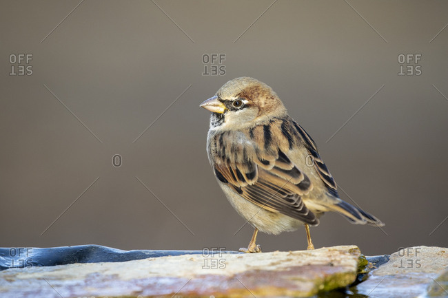 Homemade sparrow (Passer domesticus) perched on a rock.