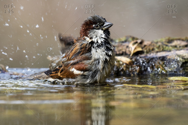 Male homemade sparrow (Passer domesticus) bathing in a stream. Spain