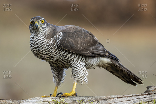 Northern azor accipiter gentilis, perched on its perch. Spain