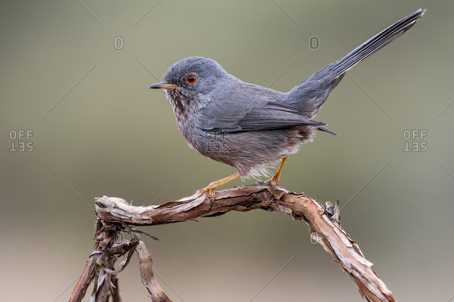 Dartford warbler, (Sylvia undata), perched on a branch of a tree. Spain