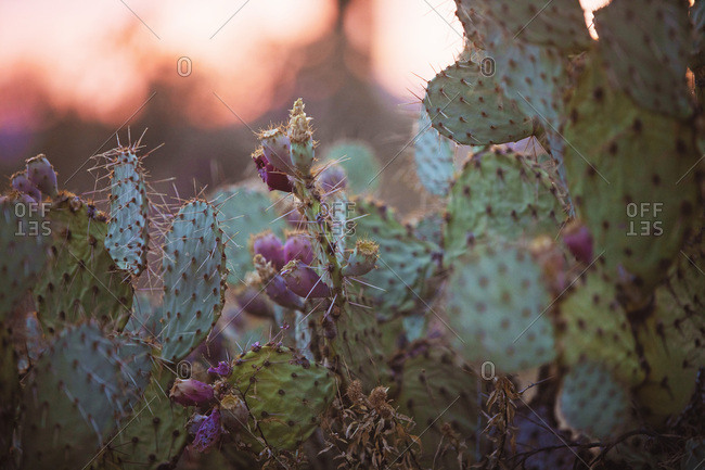 Prickly Pear Cactus - Offset Collection