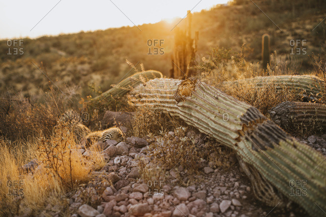 Fallen Saguaro from the Offset Collection