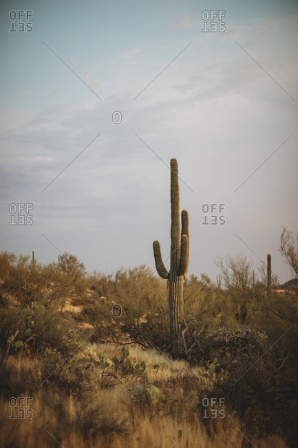 Lonely Saguaro from the Offset Collection