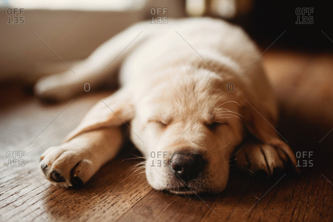 Sleeping Labrador puppy