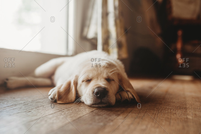 Sleeping yellow Labrador puppy