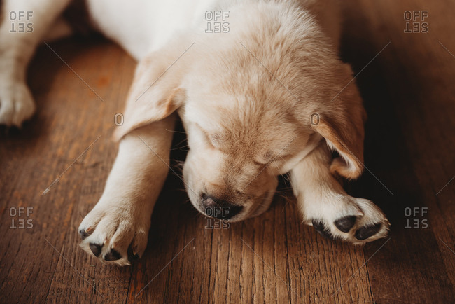Yellow Labrador puppy asleep